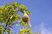 Baya Weaver Bird Nest  Branch On Tree
