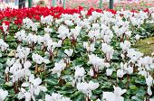 White And Red Cyclamens