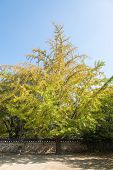 Big Ginkgo Tree