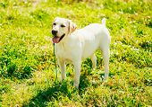 picture of labradors  - White Labrador Retriever Dog Standing On Green Grass Outdoor Outside - JPG