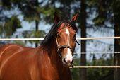 Bay Horse Portrait In Summer
