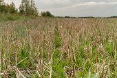 Cut Grass Stalk