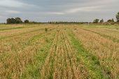 Many Cut Grass Stalk