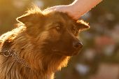 stock photo of shepherds  - Photo of a friendly German shepherd dog - JPG