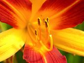 Lily and stamen