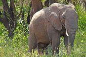 African Elephant In The Bush