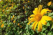 Maxican Sunflower On Meadow