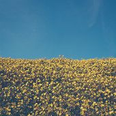 Maxican Sunflower On Meadow And Blue Sky Vintage
