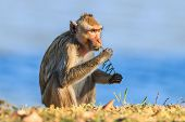 Monkey (crab-eating Macaque) Eating Sapling Of Plants In Thailand