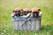 foto of belgian shepherd  - young puppies belgian shepherd malinois in box - JPG