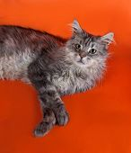 Gray Fluffy Cat Maine Coon Lying On Orange