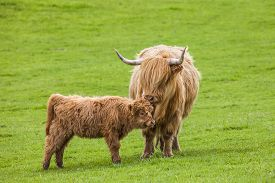 picture of calf  - Incredible scottish cattle with calf  - JPG