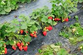 picture of strawberry plant  - strawberry plants and fruits in growth at field - JPG