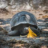 stock photo of tortoise  - Seychelles giant tortoise at La Digue Island - JPG