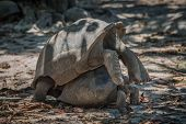 foto of mating  - Seychelles giant tortoise mating - JPG