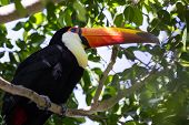 image of toucan  - close up of a perched toco toucan with a beautiful display of color and natural beauty