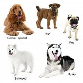 ������, ������: Different breeds of dogs