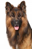 foto of german shepherd dogs  - Close - JPG