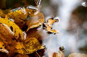 picture of fallen  - Yellow leaves fallen into a puddle in autumn - JPG