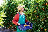 picture of orange-tree  - Farmer man harvesting oranges in an orange tree field - JPG