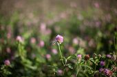 picture of clover  - Clover flower with the clover field background bokeh - JPG