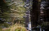 foto of swamps  - A shot of a Frog Swimming in a swamp  - JPG