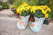picture of marigold  - Blossom marigold in pots with boot shape decorated in the garden - JPG