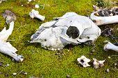 stock photo of kangaroo  - Dead kangaroo and bones found in rural area - JPG