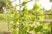 picture of marrow  - vegetable marrow in the garden of a farmer - JPG