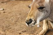 stock photo of kangaroo  - Close - JPG