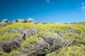 picture of scrubs  - Dense Melaleuca scrub on Western australian coastal hillside under bright blue sky at Yallingup - JPG