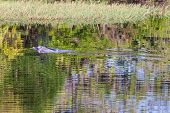 pic of mammal  - Inia geoffrensis pink dolphin a mammal of amazon river Brazil - JPG