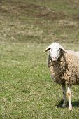 foto of counting sheep  - Sheep grazing on a green pasture - JPG