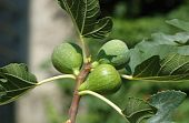 Fig Tree (ficus Carica) Fruits