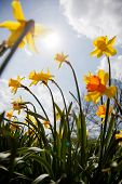 stock photo of easter lily  - Narcissus pseudonarcissus  - JPG