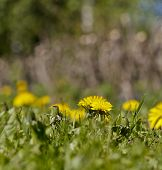 image of yellow buds  - Close up on dandelion flower and bud in a garden during spring and summer - JPG
