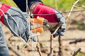 stock photo of prunes  - Gardener with a sharp pruner making a grape pruning  - JPG