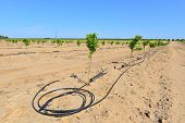 pic of dripping  - Newly planted almond trees on a San Joaquin Valley farm are watered with a drip irrigation system in a time of drought in California - JPG