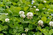 picture of clover  - White clover  - JPG