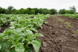 stock photo of potato-field  - Potato field with green shoots of potatoes. Closeup