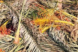 picture of sukkoth  - Palm tree branch for Sukkah on Sukkoth Jewish holiday - JPG