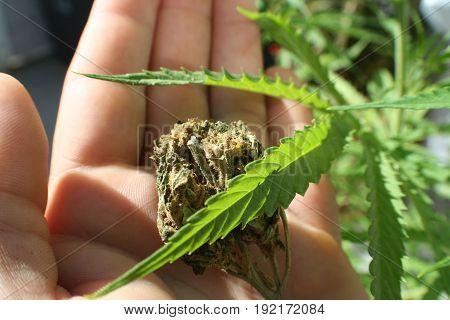 Marijuana Leaf With