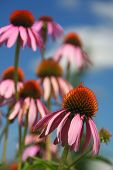 Echinacea - herbal medicine
