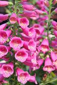 Foxgloves in an herb garden
