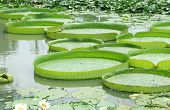 stock photo of water lilies  - Victoria Regia  - JPG