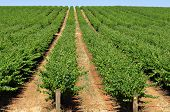 rows of grape vines reaching out over the horizon