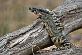 a lace monitor (goanna) lizard with head raised and arm resting on log