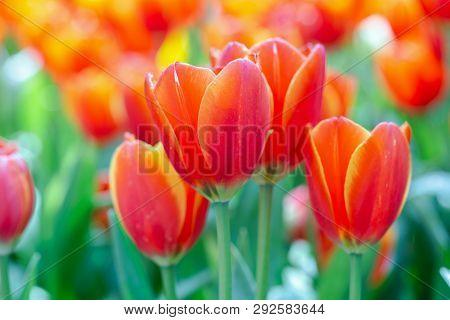 Tulip Flower In Garden At