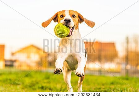 poster of Beagle Dog Runs In Garden Towards The Camera With Green Ball.