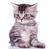 close up image of a cute silver tabby baby cat on white background